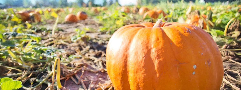 giant-pumpkins-1170